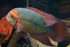 Chocolate Cichlid | by Roger Hopper Cichlid Aquarium, Cichlid Fish, Tropical Fish Aquarium, Freshwater Aquarium Fish, South American Cichlids, Oscar Fish, Monster Fishing, Exotic Fish, Colorful Fish