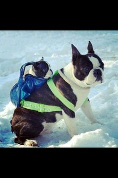 #BostonTerrier