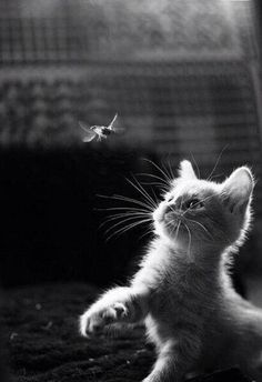 And another..... amazing little cat trying to get a little fly in black and white.