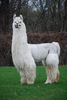 Image result for argentinian llama Llama Decor, Bodies, Image, Athlete, Fiber, United States, Popular, Style, Swag