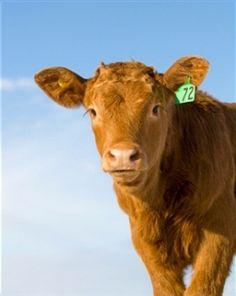 Raising beef cattle