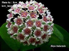 Hoya balaensis 2