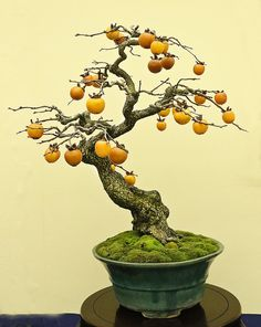 2015 Autumn Japan Bonsai Exploration– Part 4 Bonsai Acer, Juniper Bonsai, Bonsai Plants, Bonsai Garden, Bonsai Fruit Tree, Fruit Trees, Ficus, Bonsai Styles, Indoor Bonsai