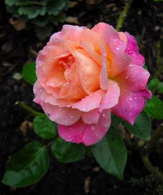This 'Chicago Peace' rose is the favorite in my garden! The color of the petals are more intense this time of year than in the Spring, thanks to Mother Nature!