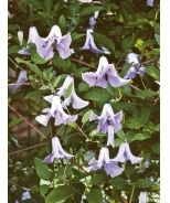 Betty Corning Clematis (Clematis viticella 'Betty Corning') - Monrovia - Betty Corning Clematis (Clematis viticella 'Betty Corning')