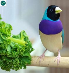 The blue Gouldian finch is one of the most prized and attractive colour mutations in aviculture. The mutation first appeared in the but it wasn't until the seventies that anyone had su… Small Birds, Little Birds, Colorful Birds, Pretty Birds, Love Birds, Beautiful Birds, Bird Aviary, Australian Birds, Unusual Animals