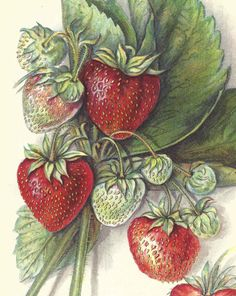 1912 Antique Strawberry Print Lithograph Book Plate Original Chesapeake Strawberry by catladycollectibles on Etsy