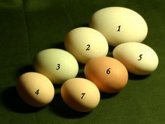 Rouen Duck Eggs