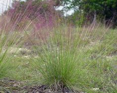 Muhlenbergia capillaris (Lam.) Trin.  Gulf muhly,  Hairy-awn muhly or gulf muhly is a 1 1/2-3 ft., perennial grass with a large, airy, much-branched seed head up to half as long as the entire plant. The spikelets are purple. In fall the plant takes on a feathery, deep pink hue.