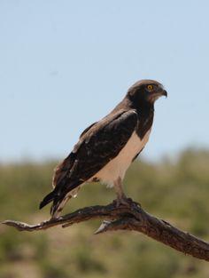 La culebrera pechinegra o águila culebrera de pecho negro (Circaetus pectoralis) Mide unos 65 cm de longitud y el peso varía de 1 a 2,5 kg. La cabeza y el pecho son de color marrón oscuro, al que debe su nombre. En vuelo la cabeza oscura contrasta con las partes inferiores y las supracaudales, que son blancas, aparte de barras oscuras en las plumas de vuelo y cola. Las partes superiores son de color marrón oscuro, y los ojos de color amarillo.