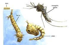 Como e o ciclo de vida do mosquito aedes aegypti
