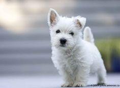 Westie puppy!