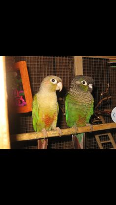 I I'm looking for a companion to my green  cheek conure.