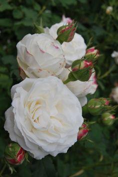 'Boule de neige' | Bourbon rose. White Bourbon. Lacharme - 1867 ✏✏✏✏✏✏✏✏✏✏✏✏✏✏✏✏ IDEE CADEAU / CUTE GIFT IDEA  ☞ http://gabyfeeriefr.tumblr.com/archive ✏✏✏✏✏✏✏✏✏✏✏✏✏✏✏✏