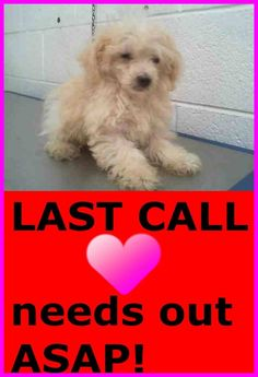 FLUFFY - ID#A1699521 1699521 Maltese puppy!!!! NEEDS OUT ASAP!!!!!! I am an unaltered male, white Maltese.  The shelter staff think I am about 4 months old  I have been at the shelter since May 18, 2015. — hier: Miami Dade County Animal Services. https://www.facebook.com/urgentdogsofmiami/photos/pb.191859757515102.-2207520000.1431994256./979506905417046/?type=3&theater