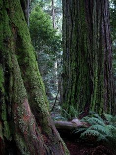 Redwoods in British Columbia