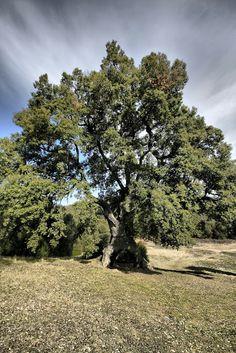 Navarra al natural: El Encino de las Tres Patas de Mendaza. Monumentos Naturales