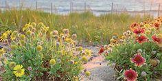 Blanketflower - This coastal plant is legend on one North Carolina island.