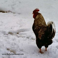 There are so many chores to do on the farmstead to prepare for winter, we can so easily get overwhelmed. Here are a few things to remember to do for our feathered friends in the coop.