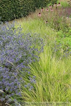 Sesleria autumnalis at Scampston Hall.  Piet Oudolf, garden designer -