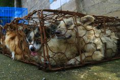"In Yulin, China, June 21st is an annual ""festival"" when dogs and cats – many"