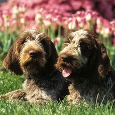 There's something instantly endearing about the big, idiosyncratic #AKCSpinoneItaliano. They have unique habits like trailing water from their beard after a drink, sitting with their butt on the sofa and their front legs on the floor, and sassing their owners.