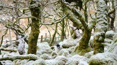 """""""Unexpected Encounter: Woolly Interloper in Wistman's Wood"""" -- Wistman's Wood, Dartmoor, Devon, England. Photograph by Nick de Cent."""