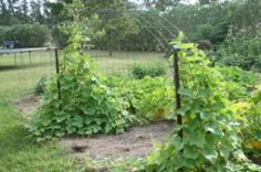 Cucumbers growing up an arch of wire fencing