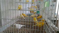 La cría de canarios ( alimentacion para la muda 2017)