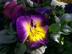 Even the pansies are searching for sunlight!