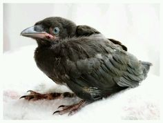 Baby Crows and Ravens start out with blue eyes and light-colored beaks which darken as they age.