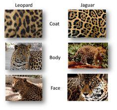 leopard vs jaguar vs panther vs cheetah - Google Search