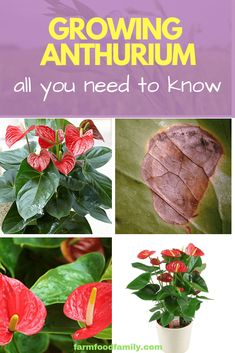 How to Grow Anthurium: All You Need To Know Anthuriums are a lush tropical plant that adds interest to any room. Here's a look at a the history and care of this beautiful houseplant. Big Plants, Exotic Plants, Tropical Plants, Unusual Plants, House Plant Care, House Plants, Growing Flowers, Planting Flowers, Anthurium Care