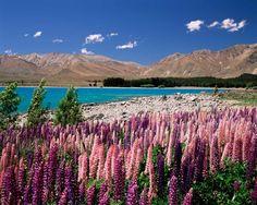 Lago Tekapo, Nueva Zelanda flores de altramuz