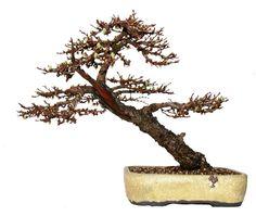 Larch Bonsai Tree in walsall ceramics pot
