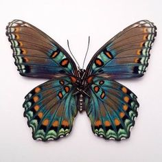 papillon 小 blue brown butterfly Butterfly Painting, Butterfly Wings, Butterfly Drawing, Butterfly Colors, Butterfly Template, Butterfly Tattoos, Monarch Butterfly, Beautiful Bugs, Beautiful Butterflies