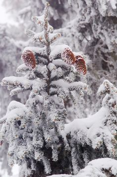 An evergreen tree in the winter.