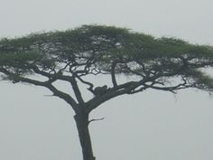 A great spot- A Leopard in an Acacia Tree Nairobi, Acacia, Cape Town, Outdoor, Outdoors, Outdoor Games, The Great Outdoors