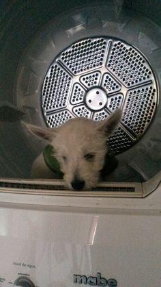 Apolo saliendo de la secadora!!!!