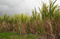 SIRAMA de Nosy Be : Bientôt la production de sucre bio. Depuis sa reprise par le…