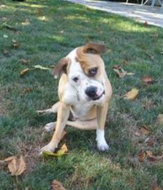 STILL AVAILABLE 10/25/16 ~ PEANUTS -female dog available for adoption at Franklin County Dog Shelter & Adoption Center