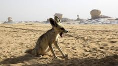 Zorro Fennec, Fennec Fox, Travel Pictures, Travel Photos, Pictures Of The Week, Wild Nature, Circle Of Life, African Safari, Animals Of The World