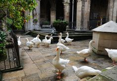 Spooky Fact! There are always 13 geese in the #Barcelona Cathedral's  courtyard for the martyr Santa Eulalia killed at age 13! #GowithOh