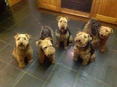 5 Welsh Terriers
