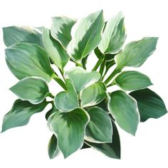 hosta ❤ liked on Polyvore featuring plants, fillers, floral and flowers/plants
