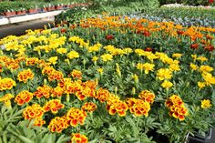 Marigolds! Beautiful and great for keeping pests out!