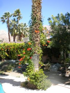 Image detail for -. Creeper vine, Madame Galen variety climbs a Schilling palm tree Palm Trees Landscaping, Landscaping Ideas, Landscape Design, Garden Design, Hawaii Landscape, Fan Palm, Creepers, Climbing, Vines