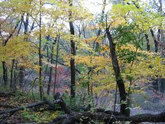 Sugar Maples in Niles, Illinois--Bunker Hill Woods