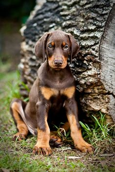 Doberman puppies are so cute! Brown Doberman, Doberman Love, Doberman Puppy Red, Rottweiler, Cute Puppies, Cute Dogs, Dogs And Puppies, Doggies, Doberman Pinscher