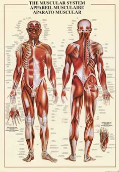Muscles Muscular System of the Human Body Anatomy Education Poster 26x38